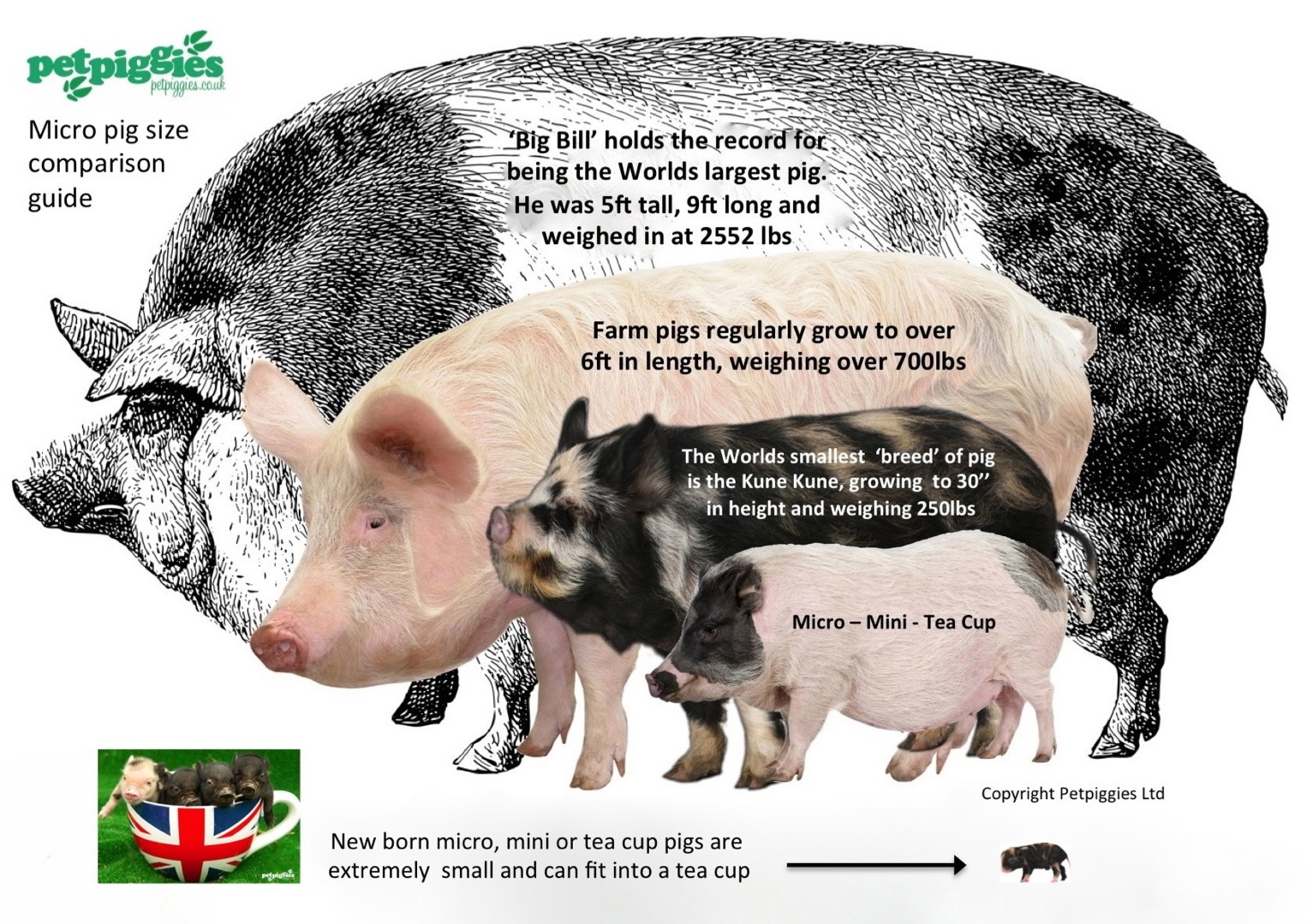 How big do micro pigs get?