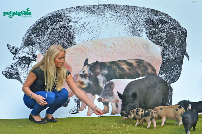 Micro pigs at Petpiggies - Size compared to other breeds of pigs