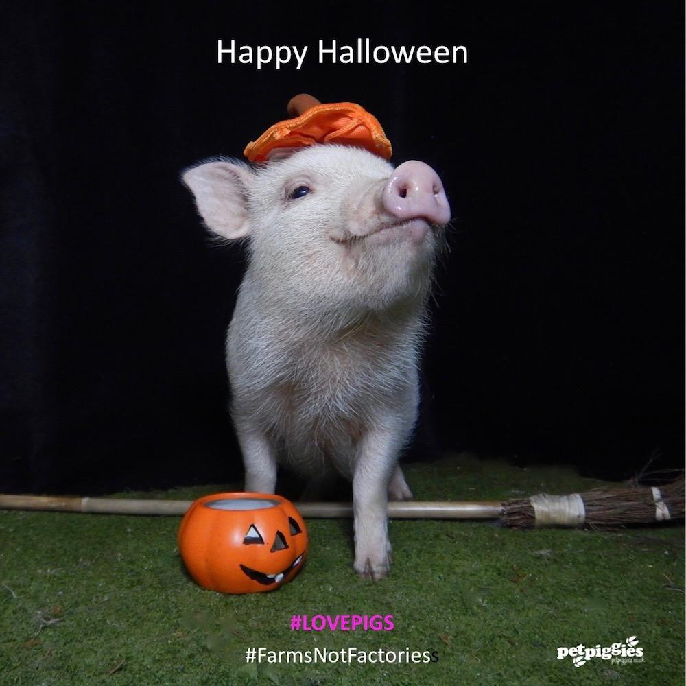 petpiggies micro pigs at halloween