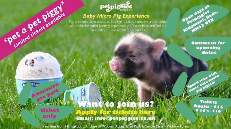 Micro pig petting days