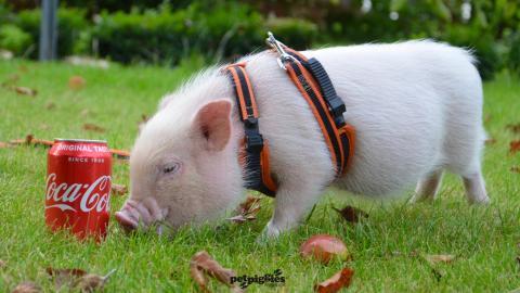 8 week old pink baby micro pig
