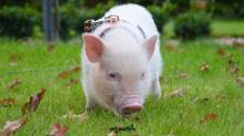 8-week-old-pink-micro-pig