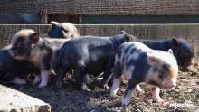 micro-pig-babies-1