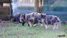 micro-pig-babies-5