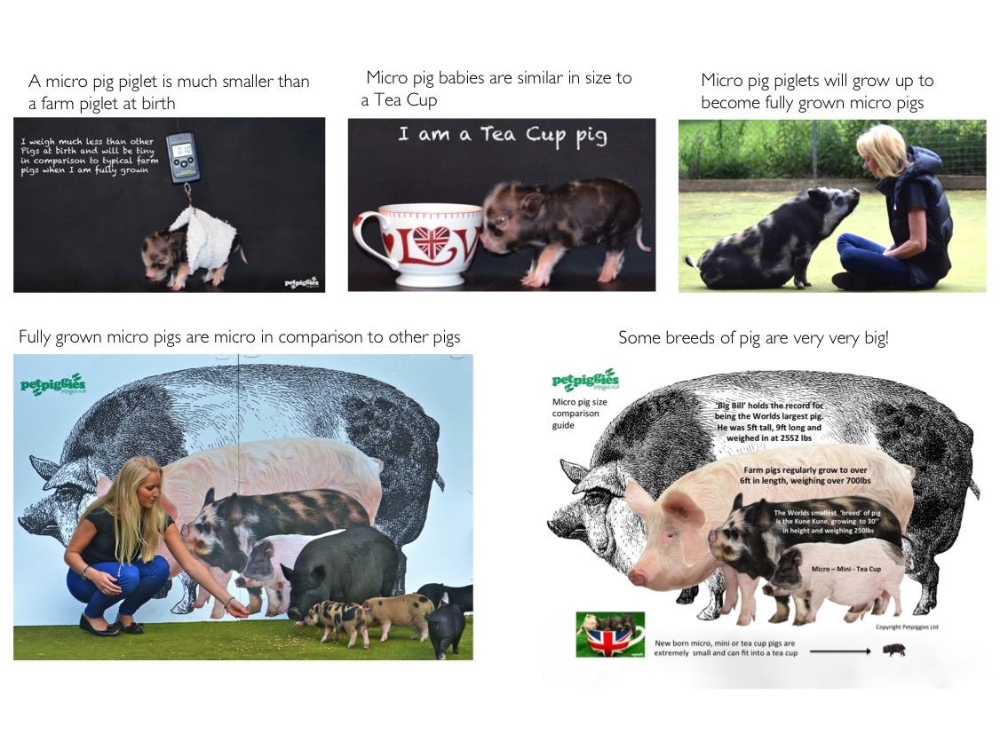 Micro Pig size comparisons to other pigs