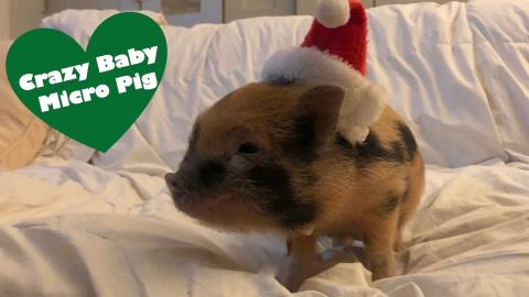 crazy baby micro pig