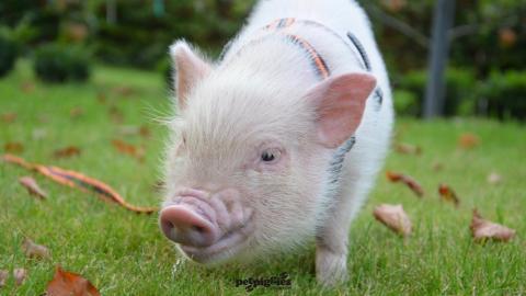 micro-pig-at-8-weeks-old