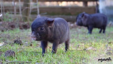 micro-pig-babies-4