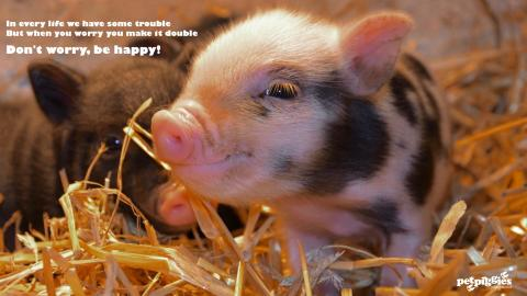 micro-pig-experience-woburn-forest