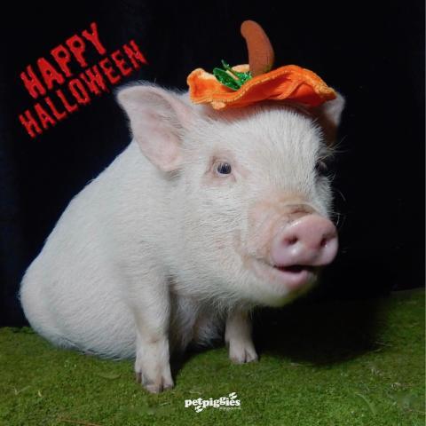 Micro Pig at Halloween