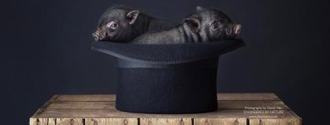 Micro Pigs in Bowler Hat by David Yeo