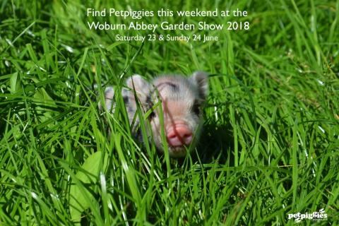 Micro pigs at Woburn Abbey Garden Show
