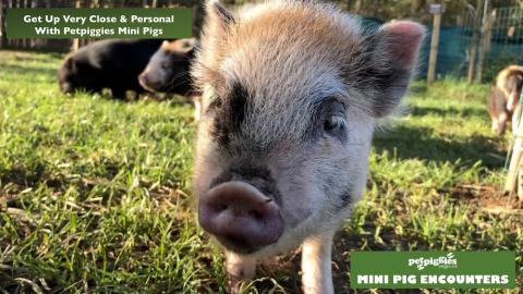 micro-pig-experience