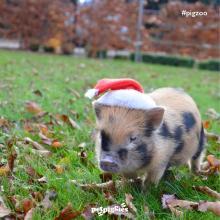 baby micro pig santa