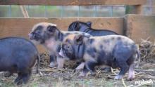 micro-pig-babies-3