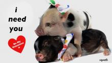micro-pig-valentines-need-you