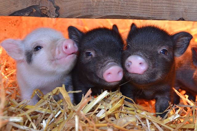 How much do micro pig piglets cost?